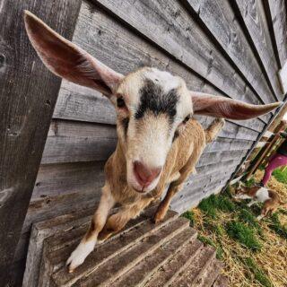 Adelaide looks like she might take off! ✈️ . #goatsofinstagram #goat #goatkids #smallholding #smallholdinglife #homestead #homesteadinglife #toggenburggoat #saanengoats #boergoats #scotland #scotland_ig #selfsufficient #selfsufficiency #selfsufficientliving
