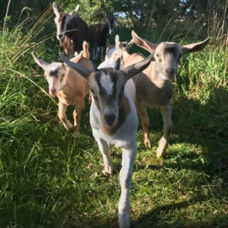 Here come the hotsteppers 😉 . #goatsofinstagram #goats #homesteading #homesteadinglife #sustainableliving #sustainability #smallholding #smallholdinglife #smallholdinguk #selfsufficiency #dairygoats #goatkids #goatkidsofinstagram #selfsufficientliving #goatherd