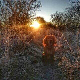 Loving these crisp cold frosty mornings, out with the four-legger in time for sunrise. Sonny -half lion, half red squirel- loves the fresh smells of a new day... . #frost #frostymorning #frostymornings #hawfrost #wintersun #winter #scotlandsweather #scotland #scotlandlover #sunrise #sunriseoftheday #angusscotland #morningwalk #morningwalks #morningwalkies #cockerspaniel #cocker #goldencockerspaniel #goldencocker #workingcocker #littlemoments #dogsofinstagram #littlemomentsofmylife #angus #scottishlife