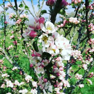 Apple blossom! This tree is dripping with fragrant blooms 🌼🐝🌼 . #smallholding #slowdown #stepoutside #scottishlife #scotland #homestead  #apples #appletree #fruittree #fruittrees #littlemomentsofmylife #liveauthentic