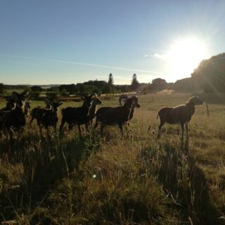 Some of my Soay flock in the gorgeous evening sunshine... 🌄 . #nofilter #liveauthentic #littlemomentsofmylife #soay #soaysheep #smallholding #homestead #sustainableliving #selfsufficiency #scottishlife #scotland #summer #ecoliving #countrylife #countryliving #shepherdess #scotlandinsummer #livethelifeyoulove