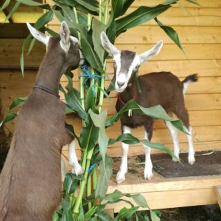 The kids grow up so quickly! 😉 Cleo and Neffy enjoying some corn plants... . #goatsofinstagram #goats #goat #goat🐐 #toggenburg #toggenburggoat #saanen #saanengoats #homestead #smallholding #scottishlife #scotland #closedloopsystem #closedloop #sustainability #sustainableliving #selfsufficiency #maize #corn #liveauthentic #littlemomentsofmylife #littlestoriesofmylife #LiveLife #countrylife #countryliving #countrygirl #rural #rurallife #nofilter