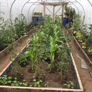 Slow and cool start this year... 🌱 .#polytunnel #polytunnellife #polytunnels #smallholding #smallholder #smallholdinguk #smallholdinglife #homestead #homesteading #homesteadlife #croftinglife #crofting #scotland #permaculture #permaculturegarden #permaculturelife #vegetableplants #vegetablegarden #vegetablegardening #vegetablegrower #organicgardening #organic #organicfood #companionplanting #companionplantings